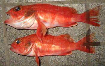 かさご ゆめ 釣る前に、食べる前に、ユメカサゴという魚を知ろう!|つりまる